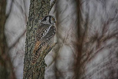 Northern Hawk Owl Poster by Gary Hall