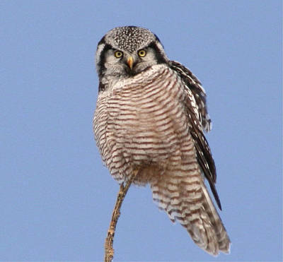 Northern Hawk Owl  Poster by Larry Trupp
