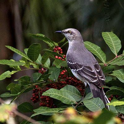 Northern Mocking Bird Poster