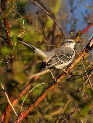 Northern Mockingbird Poster by Chris Flees