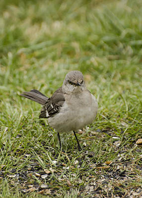 Northern Mockingbird Poster by Heather Applegate