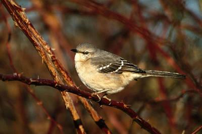 Northern Mockingbird Mimus Polyglottos Poster by Paul J. Fusco
