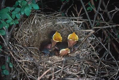 Northern Mockingbird Nestlings Poster