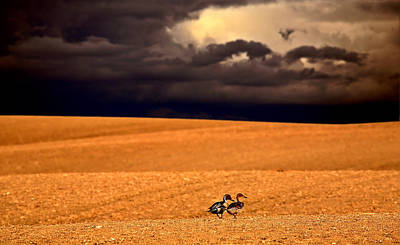Northern Pintail Pair Out Walking In Saskatchewan Poster by Mark Duffy