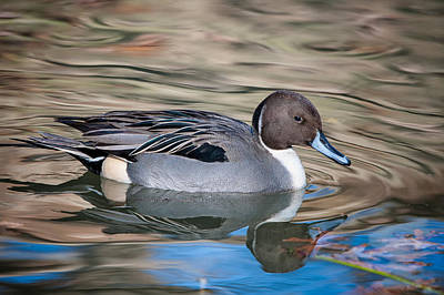 Poster featuring the photograph Northern Pintail by Tyson and Kathy Smith