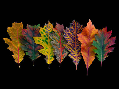 Northern Red Oak Leaves In Autumn Poster by Frans Hodzelmans