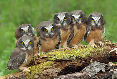 Northern Saw-whet Owl Chicks Poster by Nick Saunders