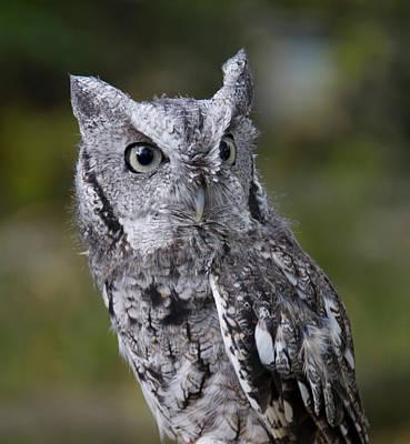 Northern Screech Owl Poster