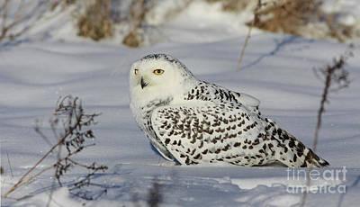 Northern Spirit- Snowy Owl Poster