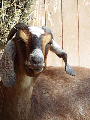 Nubian Goat Poster