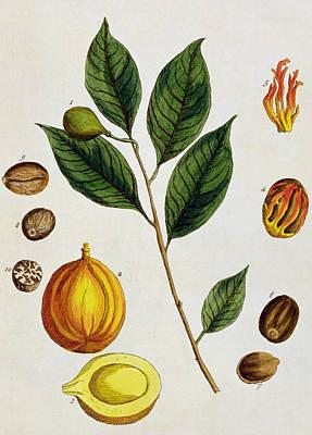 Nutmeg Poster by Elizabeth Blackwell