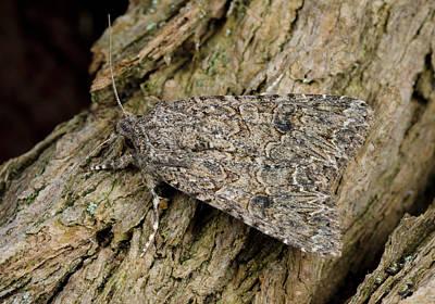 Nutmeg Moth Poster by Nigel Downer
