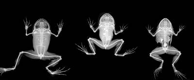 Nyctibatrachus Major Frogs Poster by Natural History Museum, London