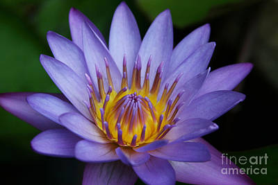 Nymphaea Caerulea  - Blue Egyptian Water Lily - Sacred Blue Water Lily - Nympheas Poster by Sharon Mau