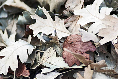 Poster featuring the photograph Oak Leaves In Fall by Gary Brandes