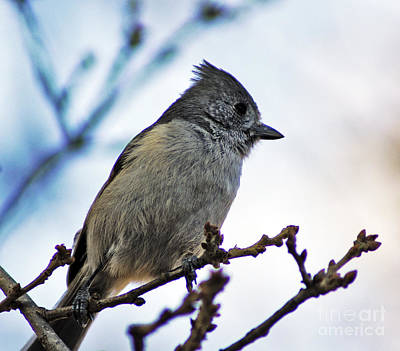 Poster featuring the photograph Oak Titmouse by Gary Brandes