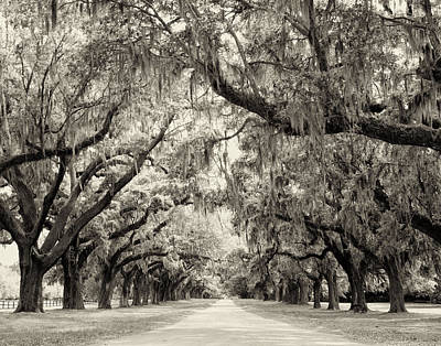 Oak Trees Of Charleston South Carolina In Sepia Poster by Stephanie McDowell