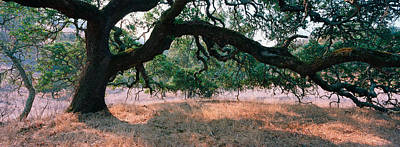 Oak Tree On A Field, Sonoma County Poster