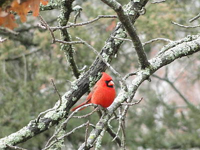 Observing Cardinal Poster by Cindy Croal