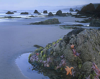 Ochre Sea Stars At Low Tide Miwok Beach Poster by Tim Fitzharris