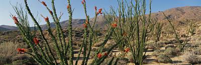 Ocotillo Anza Borrego Desert State Park Poster