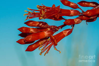 Ocotillo Flowers Poster by Robert Bales