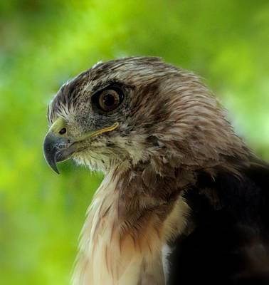Oh Mighty Hawk Poster by Rosanne Jordan