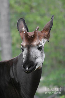 Poster featuring the photograph Okapi #2 by Judy Whitton