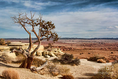 Old Desert Cypress Struggles To Survive Poster