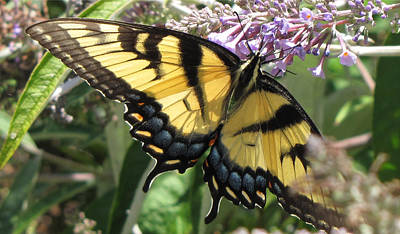 Poster featuring the photograph Old World Swallowtail by Jennifer Wheatley Wolf