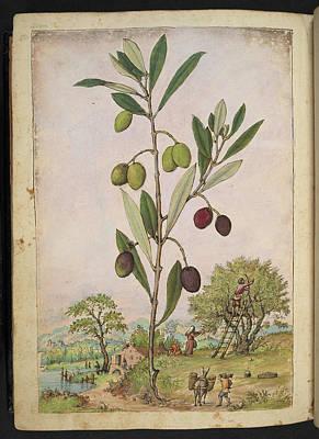 Olive (olea Europaea) Poster