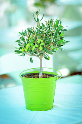 Olive Tree In A Green Pot Poster