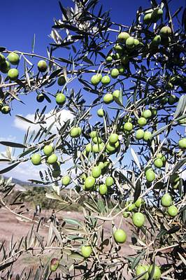 Olive Tree Poster by Photostock-israel