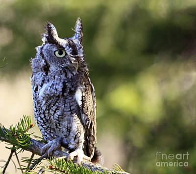 On Alert Majestic Eastern Screech Owl  Poster