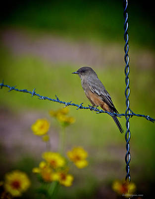 Say's Phoebe Poster by Britt Runyon