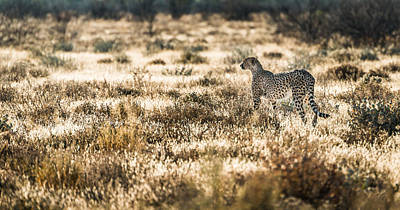 On The Prowl - Cheetah Photograph Poster by Duane Miller