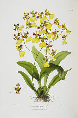Oncidium Pectorale Poster by British Library