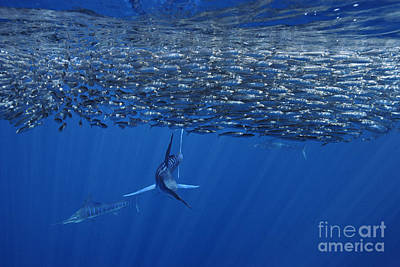 One Striped Marlin Feeding On Baitball Of Sardines Beautiful Wall Decor For Office Or Home Poster by Brandon Cole
