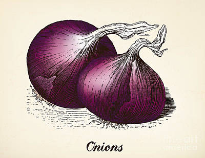 Onions Vintage Illustration, Red Onions Poster