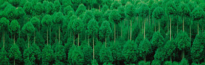 Onogo Kitayama Cedar Trees Kyoto Japan Poster by Panoramic Images