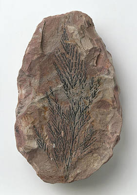 Onychiopsis Fern Fossilised In Siltstone Poster