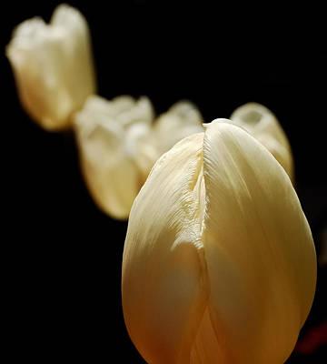 Opening Night - Tulips In The Spotlight Poster by Steven Milner