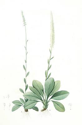 Ophiostachys Virginica, Chamaelirium Luteum Ophiostachys De Poster