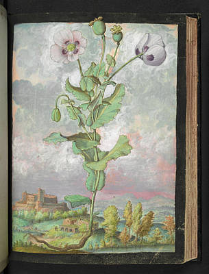 Opium Poppy (papaver Somniferum) Poster by British Library