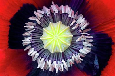 Opium Poppy (papaver Somniferum) Poster by Dr Jeremy Burgess