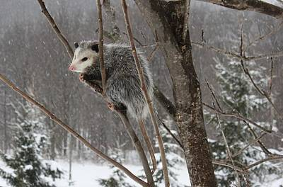 Opossum In A Tree Poster by Lucinda VanVleck