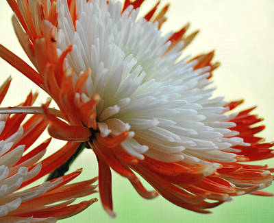 Orange And White Flower Poster