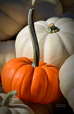 Orange And White Pumpkins Poster by Julie Palencia