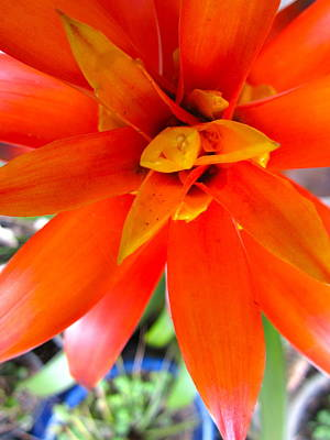 Orange Bromeliad Poster