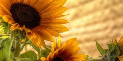 Orange Burst - Sunflower - Mike Hope Poster